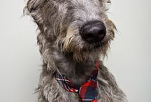 Wolfhounds and Dashounds Oh My!