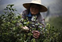 Thé, Tea, Chai, Tee... / L'univers du thé en photos