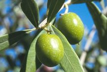 .olive oil. / we grow, press and blend our own olive oil on the estate.