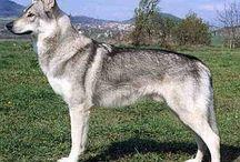 czechoslovakian wolfdog ❤