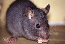 matar ratos e insetos