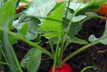 Balkon Gemüse