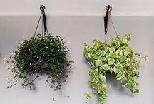 Plantas para serem penduradas