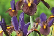 Irises / The Iris flowers come from a large genus of bulbous and rhizomatous perennial and their blooming periodis between February and the beginning of summer. Since irises are herbaceous perennials, they have soft, green stems and will die in the winter but the roots stay alive and will send out new growth in the spring.