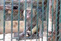 Hamadryas Baboons of Zoo Bratislava / http://babybaboons.webnode.hu/ In general own videos and photos about Baboons of Zoo Bratislava.