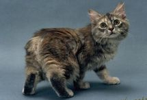 manx cats / by Peace