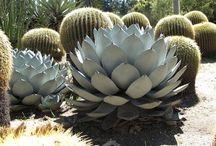 Agave-succulent