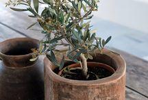 Drzewka oliwne