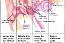 Anatomia ucha