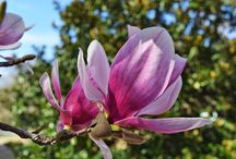 MAGNOLIA BLOSSOMS & TREES / ADDING BEAUTY TO THE SOUTHERN GARDEN