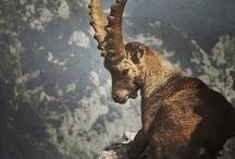 Animals Kurdistan
