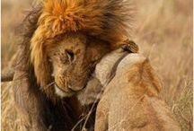 Beauty of  Lions