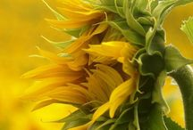 Sunflowers / by Greetje Lubbersen