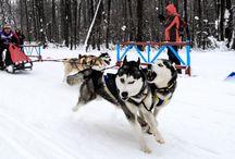 Christmas Sleddog Race. Samara 2014 / Sleddog Race