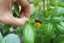 Gardening- Herbs