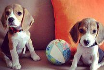 matilda.. maximus.. chloe... dexter... / Beagles + four legged babies
