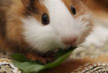 Guinea Pigs / Guinea pigs are fabulous small pets and are just so cute and cuddly. Who can resist them?? There are so many different colours and sizes that there must be one that is a perfect match for everybody, kids and grown ups alike.