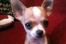 Chihuahuas / by Karie Bell
