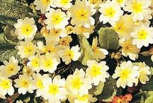 Flower: Primrose