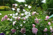 plantes à associer avec rosiers