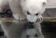 Polar Bear / ホッキョクグマ