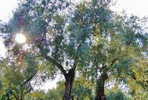 Ulivi Secolari / Olio extravergine di oliva calabrese