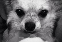 Bjørn Wiggo the Chihuahua
