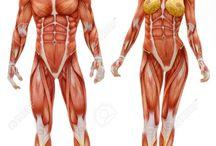 musculos humanos