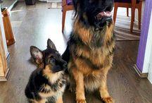 Duitse herders