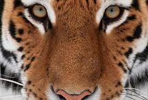 Tigerrrrrs!