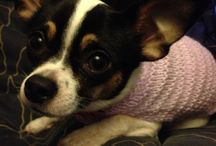 Chihuahua / Pics of my lil babies