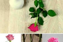 plantar rosas