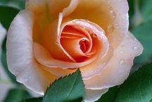 Güllere vurgum güllere sevdalı