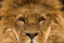 Matou lion