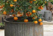 fruit in pots