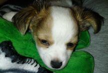 "Sadie Dadie & Pita Señorita / My big baby Sadie a wonderfully loving and friendly Cocker Spaniel & My ""Grand-dog"" Pita, an adorable, lovable little Chihuahua.  / by Leslie Rittenhouse"