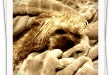 Ted Cavoodle