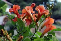 Campsis Indian Summer uspp#13139,copf / Gold Award Winner! The larger flowers 8cm ,the color a luscious orange-red with pale yellow stamens The flowers are clustered in large often pendent racemes, producing about 3-5 shoots, about 27 framed by a coarsely serrated edged lovely dark green foliage. 'Indian Summer' is heavy flowering as a young plant, the much shorter climbing habit grows to only maximum 3m (9ft) in height at maturity, and blooms earlier and longer.