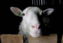 nuolniemen lammastarhat