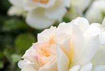 Rose@-}--