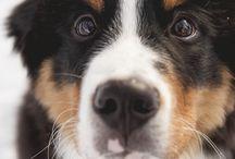 Berneese mountain dog