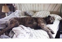 Wolfhounds and Deerhounds