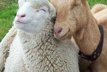 Goat and sheep