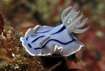 Umiushi/Nudibranch