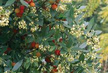 Landscape Plant Materials - Trees