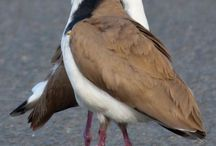 Birds - Plovers