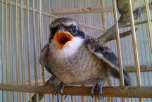 Masalah Umum Burung Cendet dan Cara Mengatasinya