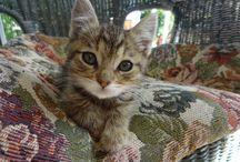 Cute Cat / Our Manx Cat