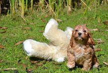 Banksia Park Puppies- Cavoodles
