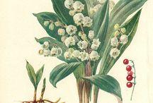 Botanical illustratons